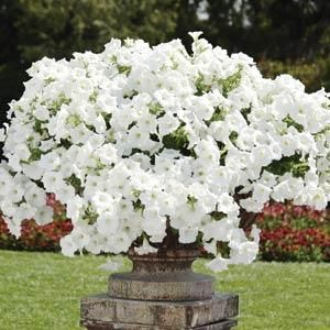 """'Easy Wave White' Petunia(Petunia x hybrid) - blooms from May to November, full sun.  8"""" H x 24"""" W (Easy Wave gives a little more height than Wave petunia) Planted in back by rose tree April 2012"""