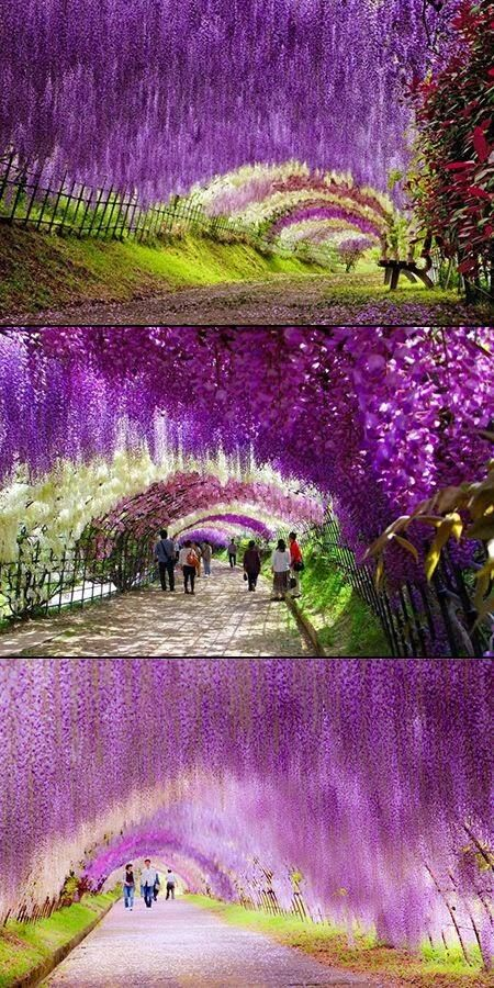 Wisteria Tunnel, Japan. It is so beautiful it doesn't look real, but it is.