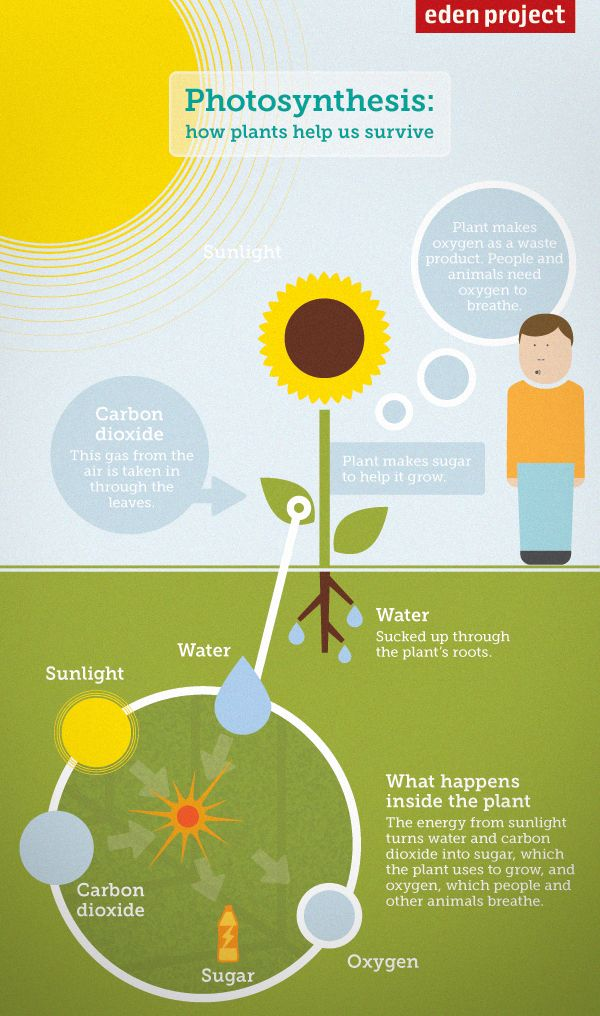 Photosynthesis Diagram For Kids  How Plants Help Us To
