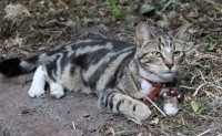 MISSING Tabby CAT – Tiger – Malvern, Melbourne VIC