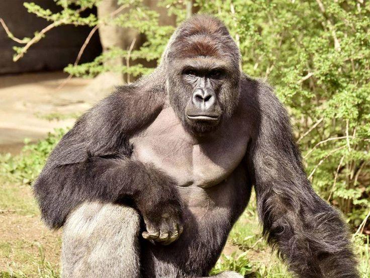 61 besten gorilla Bilder auf Pinterest | Gorilla gorilla, Affen und ...