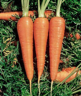 Burpee Danvers Heirloom Carrots : Danver 126, Vegetables Gardens, Carrots Plants, 126 Half, Organizations Carrots, Carrots Danver, 126 Organizations, Long Organizations, Danver Halflong