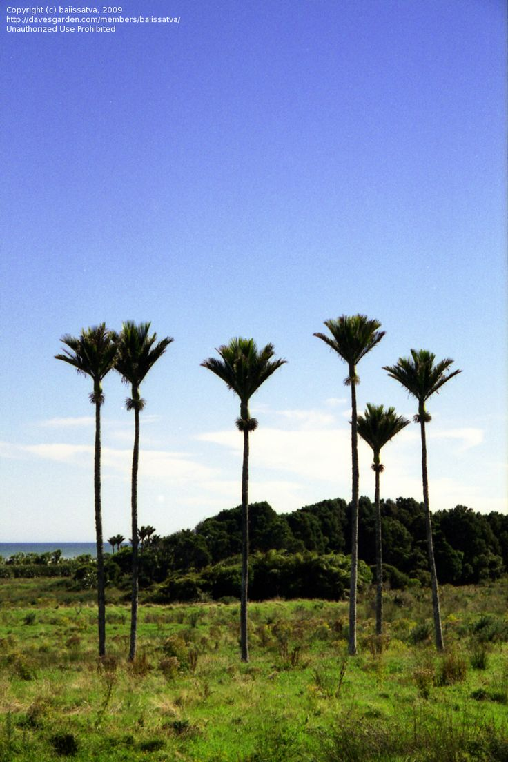 Nikau palms, New Zealand