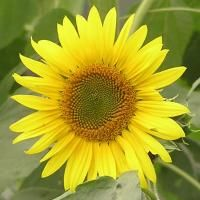 How beautiful is this sunflower printable? Give a like.