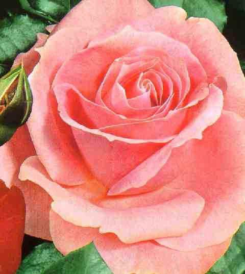 Dossier rozen: de planttijd, het planten, het bemesten en standplaats kiezen van rozen