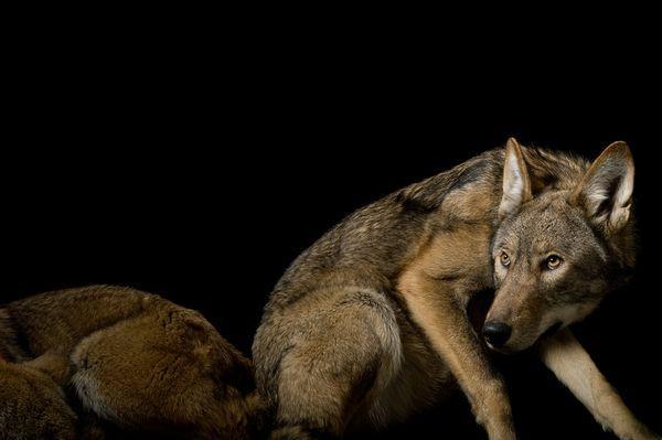Rode Wolf Statuut: Kritisch bedreigde Rode wolven (Canis rufus) werden verklaard uitgestorven in het wild in 1980. Zeven jaar later, de federale regering begon vrijgeven van dieren in gevangenschap gefokt in Oost-Noord-Carolina en vandaag een geschatte 75 tot 100 zwerven de regio. Sommige landeigenaren, bezorgd over de wolf predatie, protesteren de restauratie. Op de Great Plains Zoo, Sioux Falls (South Dakota) gefotografeerd.