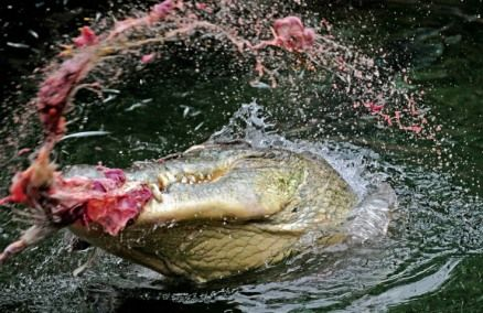Saltwater Crocodile Attacks   ... was snatched by a saltwater ...