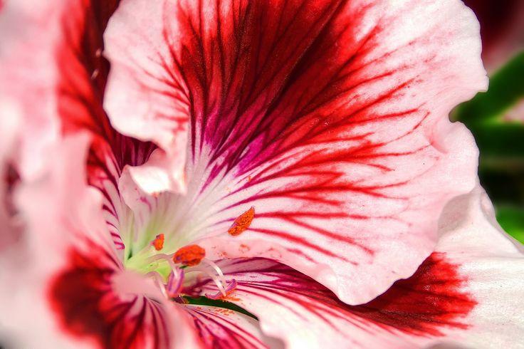 Pelargonia, fot. pixabay #rośliny #kwiat #gatunki #ogrody #ogród #kwiatki #roślinność #natura #tapeta #łąka #flower #impianto #fiore #bello #rosa #colore #fragrante #nature #flowers #green #colorful #wallpaper #photos #pretty #pelargonia