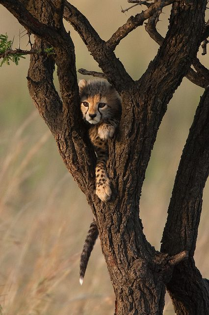 wolverxne:  Cheetah cub in the tree|(by: Paul Goldstein)