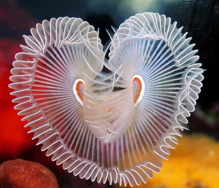 Una especie de gusano de mar ¡en forma de corazón!
