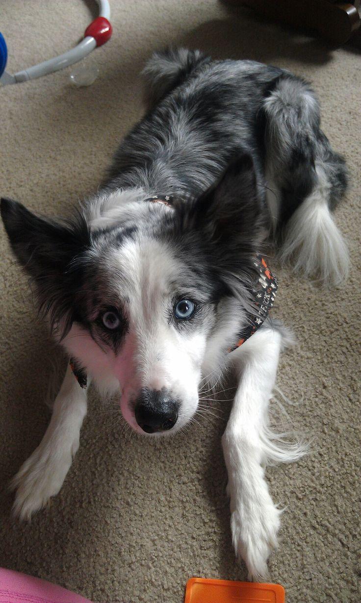 Daisy, my blue merle border collie Animales Pinterest