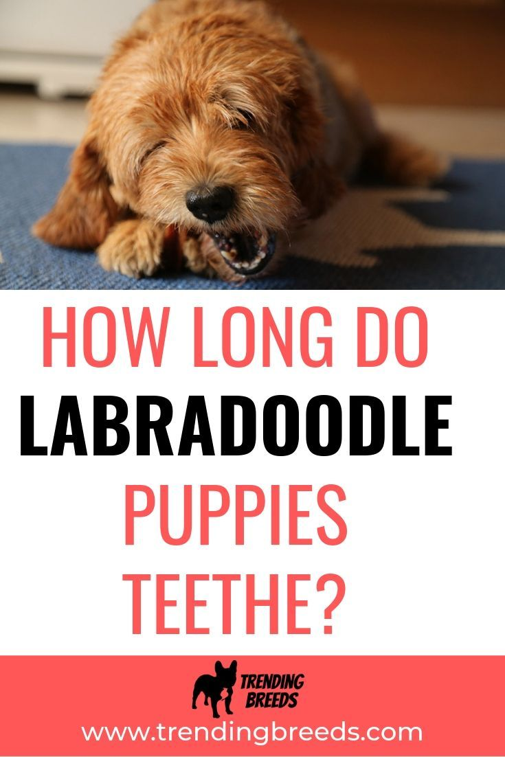 Dealing With A Teething Labradoodle Can Be Quite A Task Luckily They Don T Teethe Forever And We Ve Got Some Puppy Teething Labradoodle Puppy Toys Teething