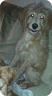 antwerp, OH - Goldendoodle/Standard Poodle Mix. Meet Rudolph, a puppy for adoption. http://www.adoptapet.com/pet/17160556-antwerp-ohio-goldendoodle-mix