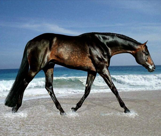 AQHA quarter horse stallion, These Irons Are Hot. Hunter under saddle discipline, thoroughbred typiness. photo: Kelly.