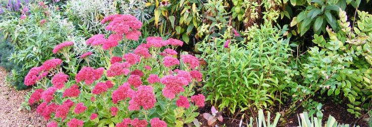 Plant Ident - Sedum (Herbstfreude Group) 'Herbstfreude'