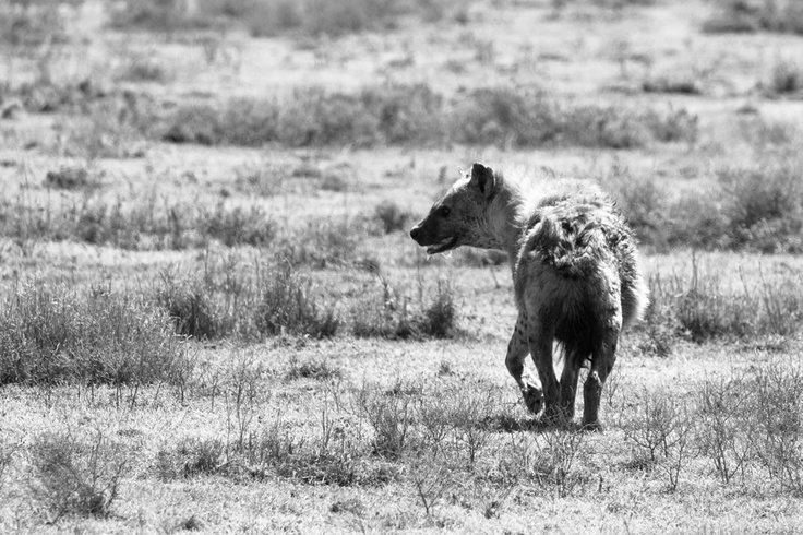 Slow food for this hyena, please. Too hot for hunting today.