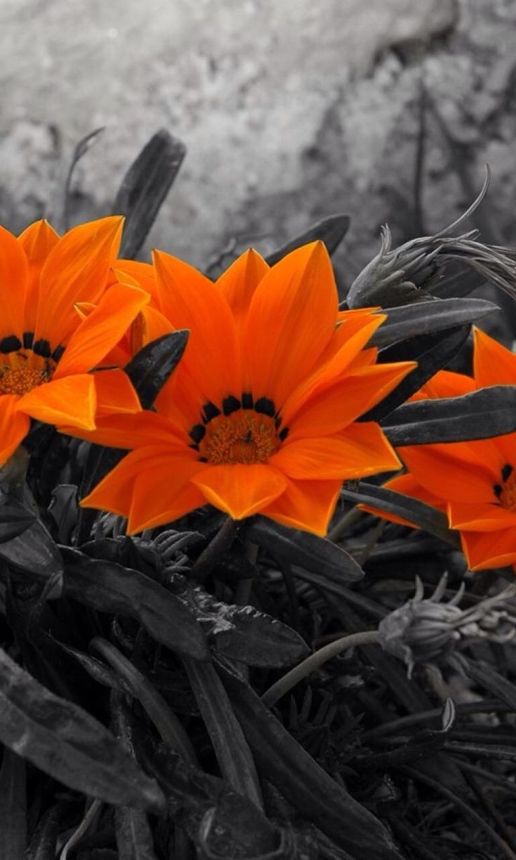 Black And White Photography With Color Splash Of Flowers