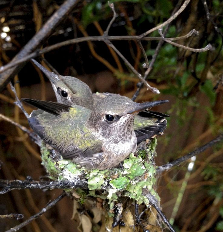 Baby Hummingbirds Leave The Nest. These Are the Cutest