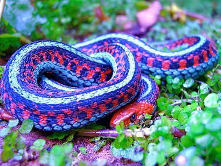 california red sided garter #snake