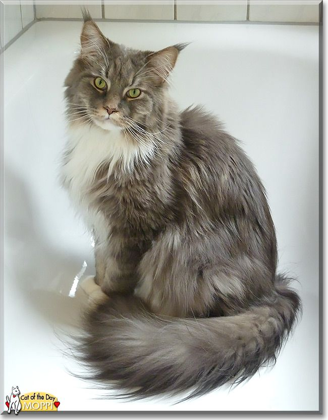 Read Moppi the Maine Coon's story from Germany and see his photos at Cat of the Day http://CatoftheDay.com/archive/2013/September/08.html .