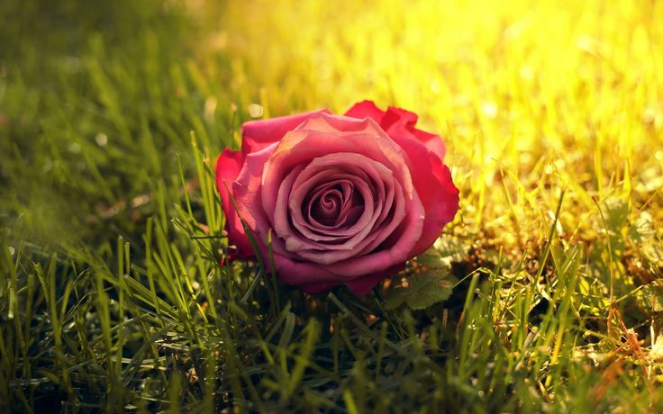 Скачать обои солнце, трава, солнечные лучи, цветок, роза, раздел цветы в разрешении 1440x900