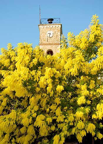 L'histoire du Mimosa à Mandelieu-La Napoule