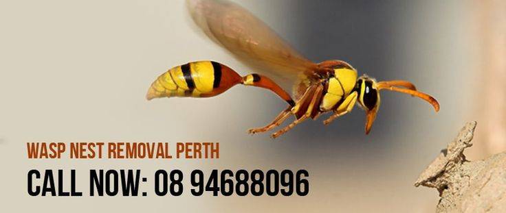 Wasp are one of the common problem. Wasp nests should be removed from the house to save precious things. It also cause Health problems. So you have to control Wasp. We are the best Wasp removal company in Perth. Contact Us. Wasp Nest Removal Perth 120 Fitzgerald Street, Perth, WA 6000 08 94688096