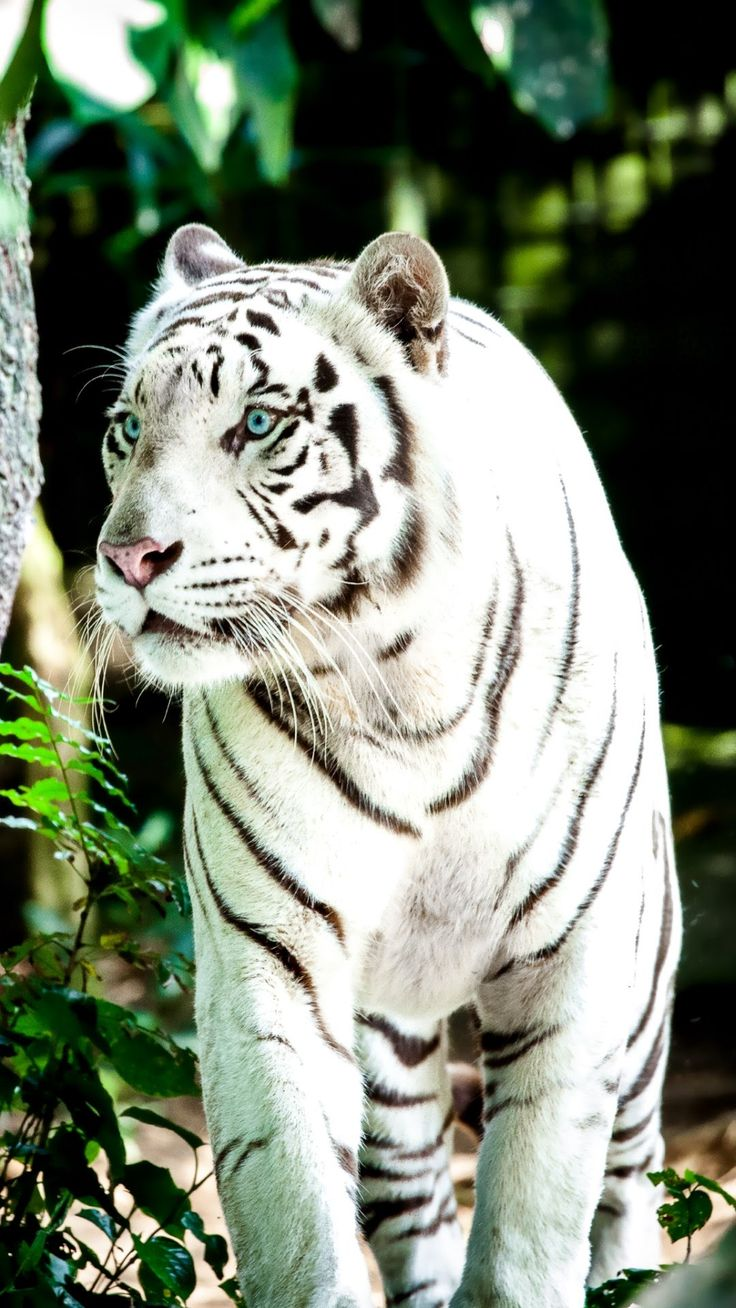 White Tiger Wallpapers · 4K HD Desktop Phone | Animali, Papere