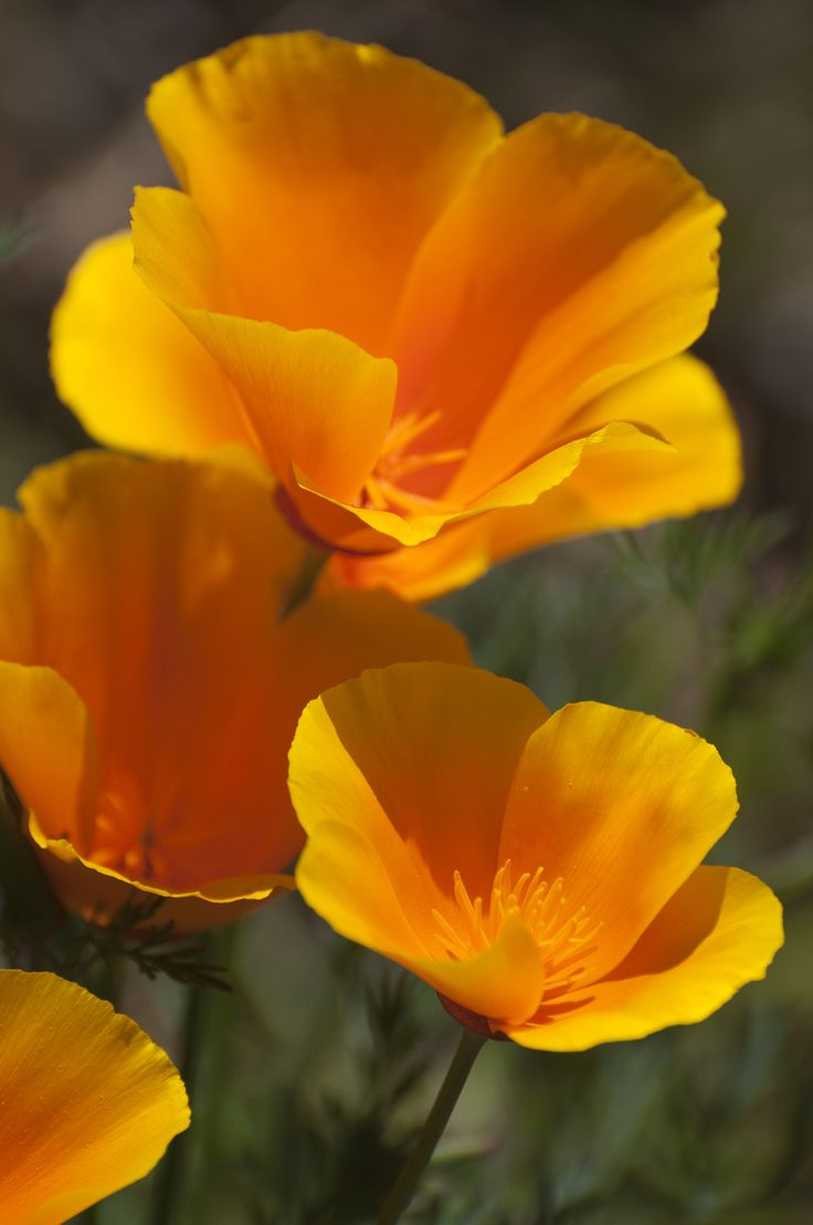 Mark your calendar: April 6 is California Poppy Day. Naturalist Adelbert Von Chamisso gave the flower its botanical name, Eschsholtzia californica, when he arrived in San Francisco in 1816.  via California State Library   - HouseBeautiful.com