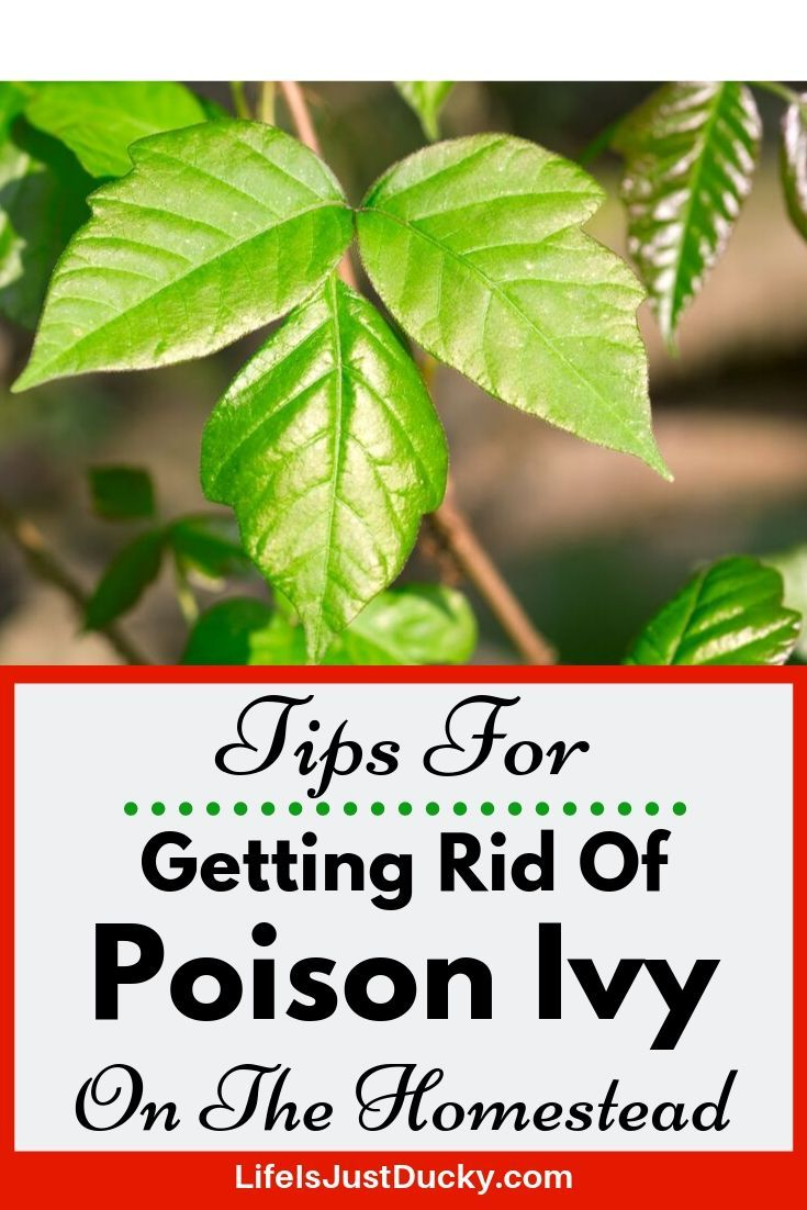Poison Ivy Removal 10 Best Ways To Get Rid Of Poison Ivy Plants