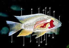 Výsledek obrázku pro gonády ryb