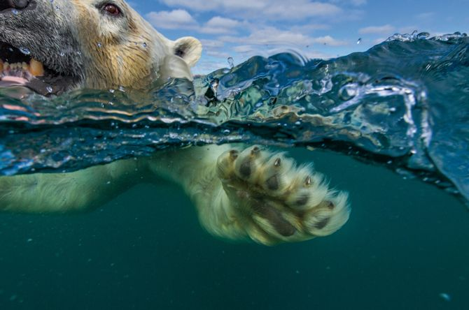 Canada—Two miles off the western coast of the Hudson Bay and just south of the Arctic Circle, a polar bear comes in for a close-up. As the winter pack ice melts in summer months, the world's largest bears—a vulnerable species—must swim for shore.~Paul Sauders 10/14