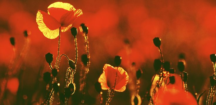 Poppies by Steve Gosling #flower #photography