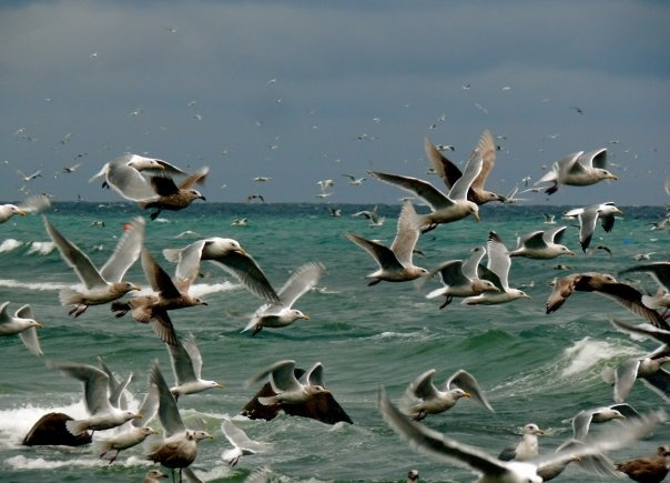 Seagulls like the Bald Eagles are on Vancouver Island gorging themselves in Herring.  Mine Mine Mine Mine Mine Mine...