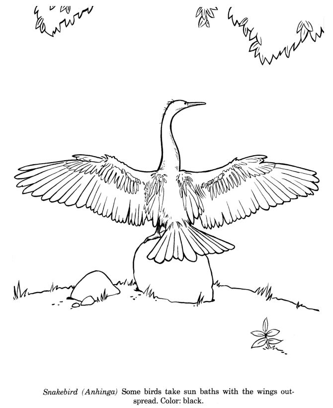 Snakebird Bird Identification Drawing Coloring Page Free Printable Anhinga Pages Featuring Wild Animals