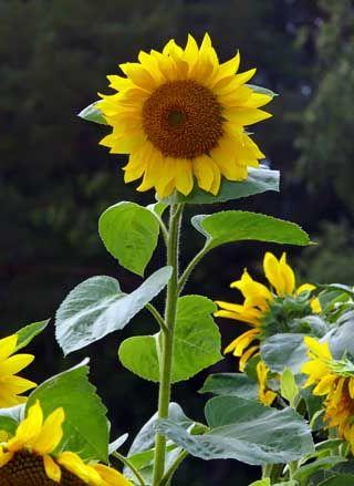 Auringonkukka, Helianthus annuus - Kukkakasvit - LuontoPortti