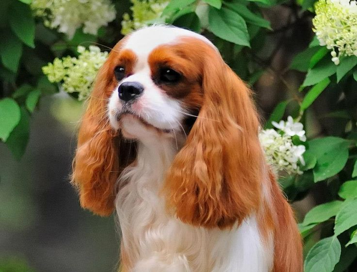 Lovely Blenheim Cavalier