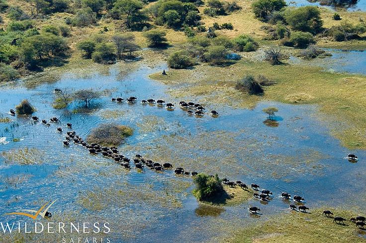 Vumbura Plains - huge herds of buffalo move through the area. #Safari #Africa #Botswana #WildernessSafaris