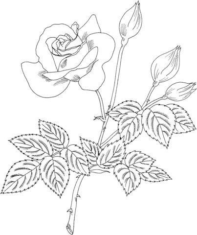 """Раскраска - Роза грандифлора """"Черри Ванила""""   Раскраски ..."""