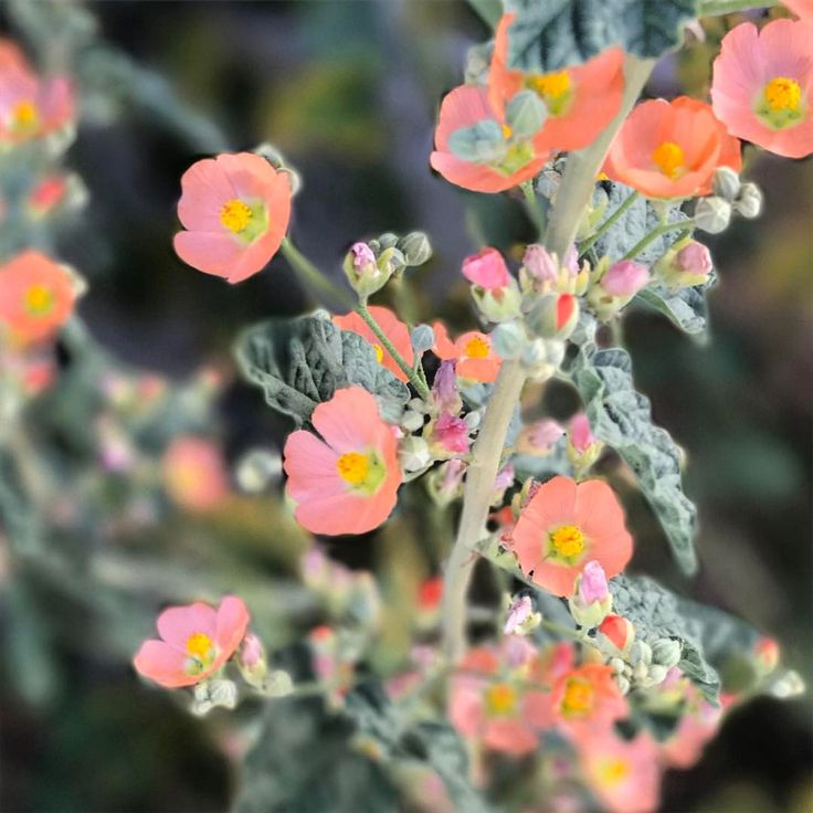 "Desert globe mallow.  Justina Blakeney (@justinablakeney) on Instagram: ""I'm decent at plant names but terrible with flowers...can anyone tell me the name of this one?"""