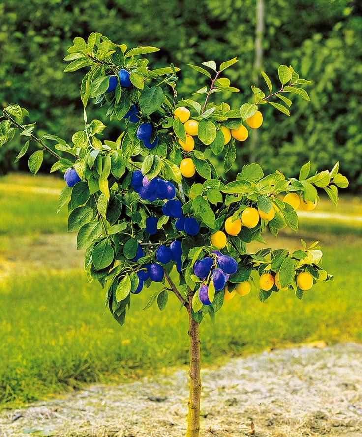 Dual Plum - Fruit  Prunus domestica 'Bleue de Belgique' + 'Reine Claude d''Oullins'    Dual plum (Prunus domestica) has two succulent varieties on one tree.