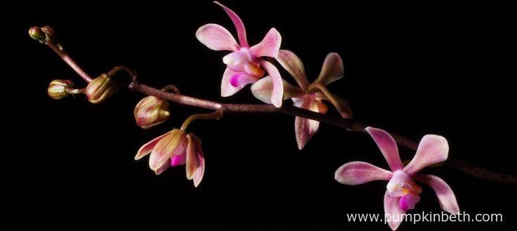 Growing Phalaenopsis honghenensis - Pumpkin Beth
