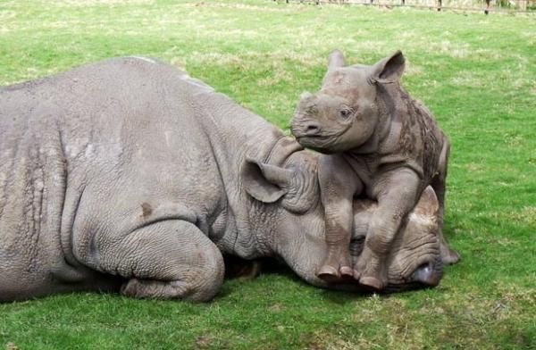 Cute!!Mothers Day, Animal Baby, Happy Baby, Babyrhino, Children, Baby Animal, Kids, Baby Rhino, Animal Photos