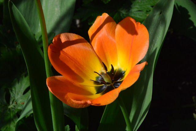 Ja oranssitulppaanin kauneutta