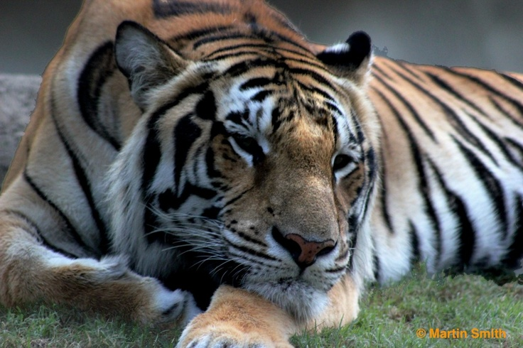 A tiger in deep thought
