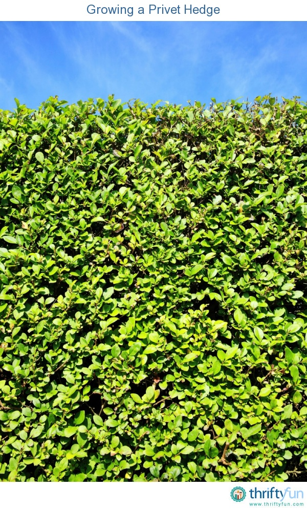 This guide is about growing a privet hedge. A hedge can make a good property line definition and create privacy.