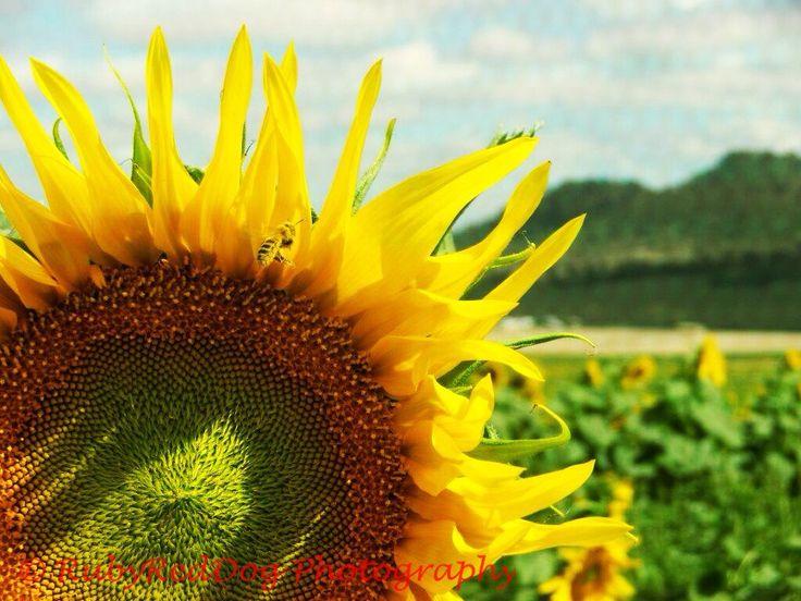Sunflower field, Kingsthorpe, QLD, Australia.