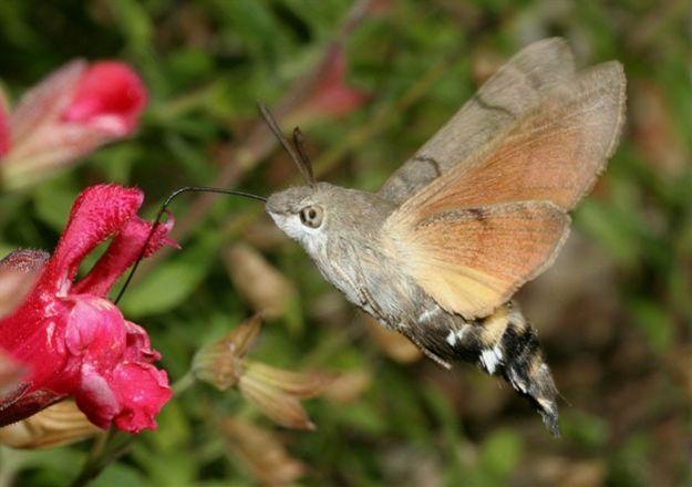 Humming-bird Hawk-moth ..... pretty eerie looking, but cool to see.
