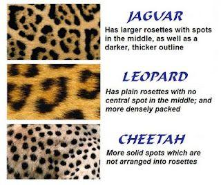 jaguar vs leopard vs cheetah animal print chart. people calling their leopard stuff cheetah print... lies!
