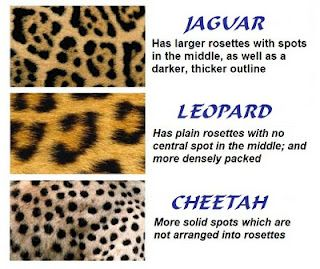 jaguar vs leopard vs cheetah animal print chart. people calling their leopard stuff cheetah print... lies!